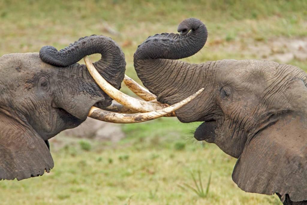 Elephants Entwined