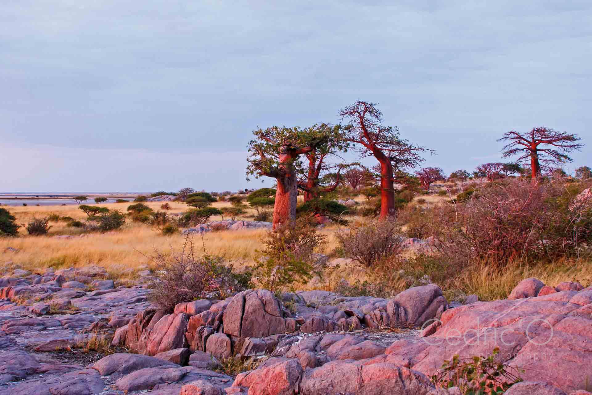 Baobabs of Kubu Island