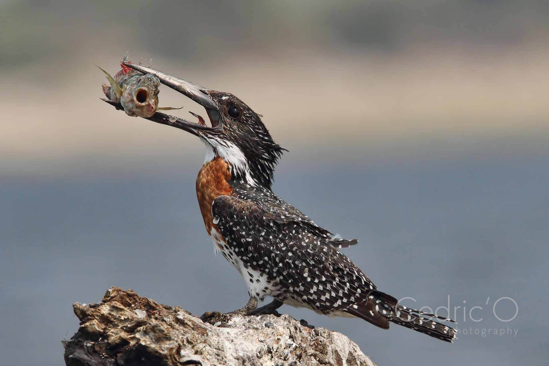Oh ! A Giant Kingfisher