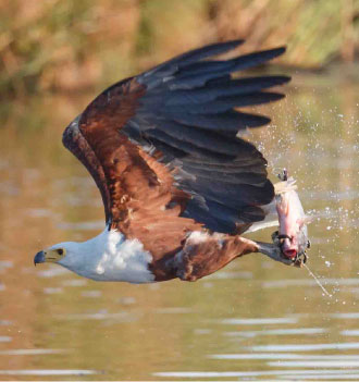 African Fish-Eagle with fish
